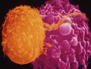 'Civil war' in immune system can fight disease